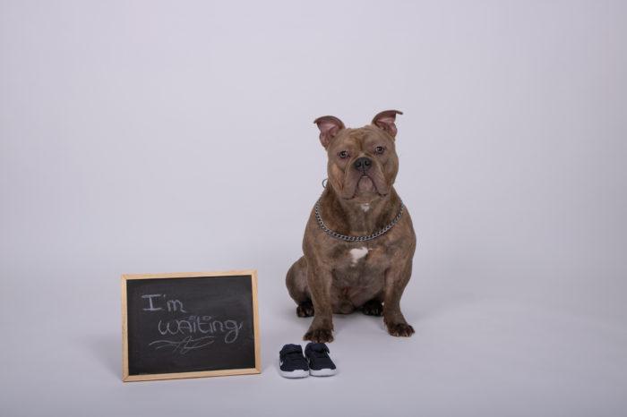 portfolio zwangerschap hond wacht en is benieuwd tot nieuwe huisgenoot komt